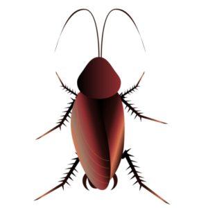 チンコに似たゴキブリ