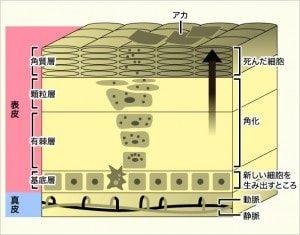 人間の肌階層